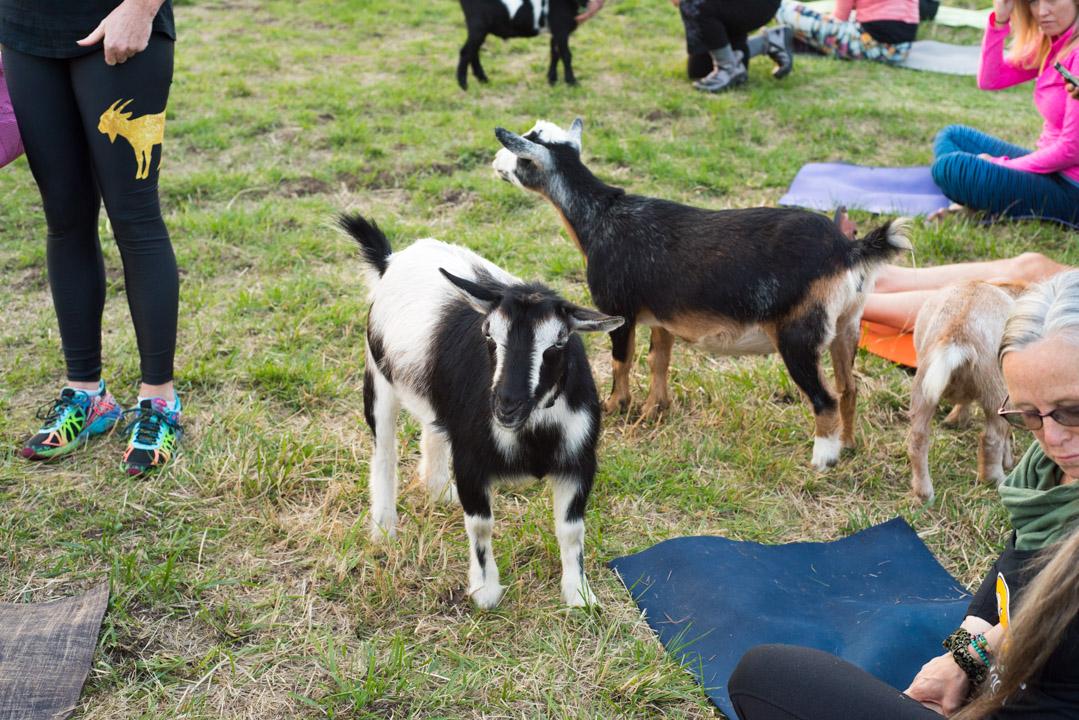 Goat Yoga 5